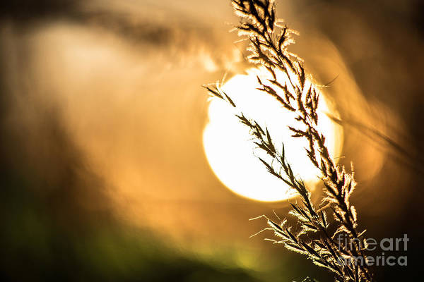 Photograph - Wild Grain At Sunset by Michael Arend