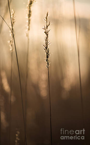 Photograph - Wild Grain by Michael Arend
