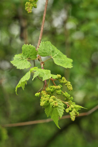 Wild Grape Photograph - Wild Grapes 1992 by Michael Peychich