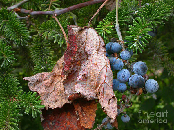 Wild Grape Photograph - Wild Grapes by Edward Sobuta