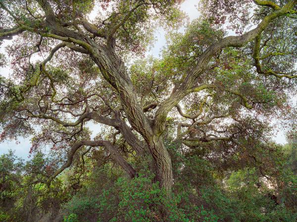 Coast Live Oak Photograph - Wild Green Yonder by Alexander Kunz