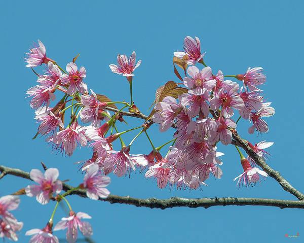 Photograph - Wild Himalayan Cherry Dthn0220 by Gerry Gantt