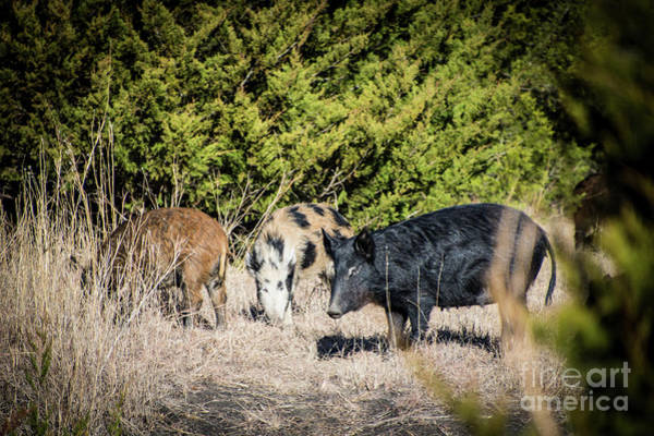 Photograph - Wild Hogs by Cheryl McClure