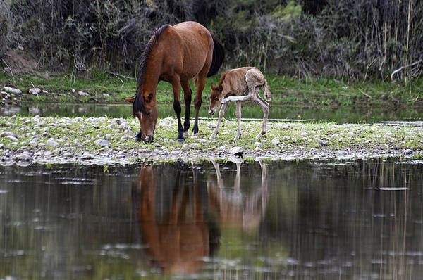 Photograph - Wild Horse And Foal by Dave Dilli
