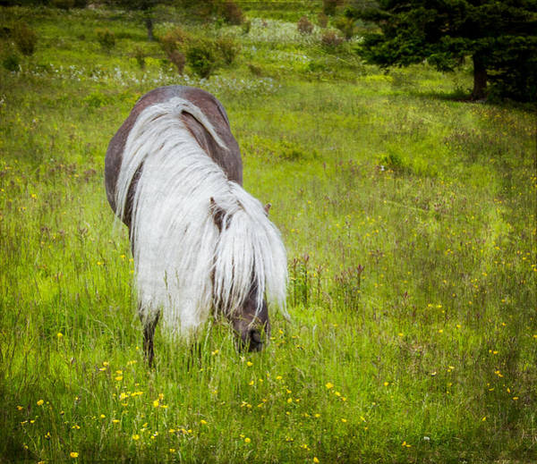 Photograph - Wild Horse At Grayson Highlands - Bw by Joye Ardyn Durham