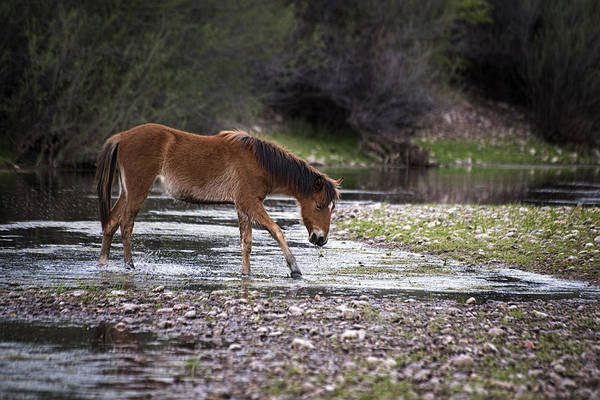 Photograph - Wild Horse Crosses Salt River by Dave Dilli