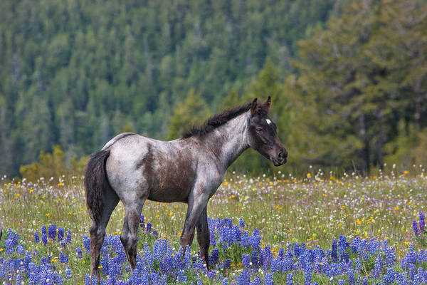 Photograph - Wild Horse Foal In Lupines by Mark Miller