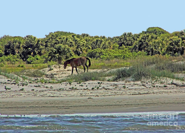 Photograph - Wild Horse On The Sand Dunes by D Hackett