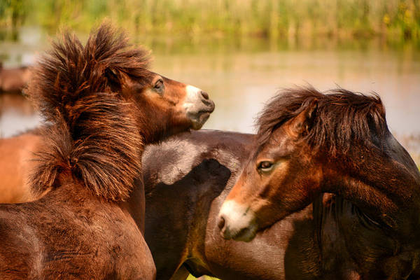 Photograph - Wild Horses 5 by Ingrid Dendievel
