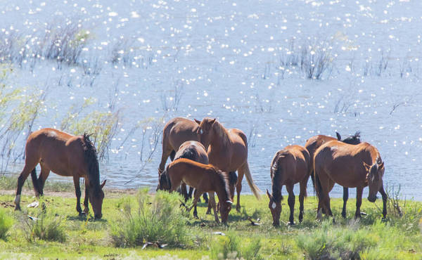 Photograph - Wild Horses At Washoe Lake by Marc Crumpler