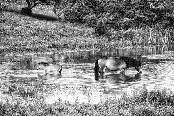 Photograph - Wild Horses Bw2 by Ingrid Dendievel