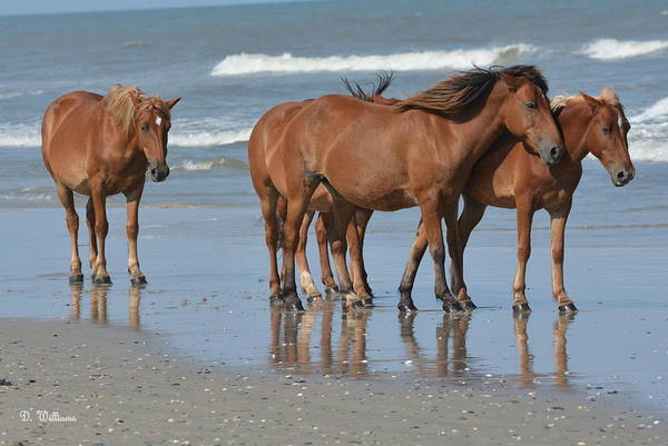 Photograph - Wild Horses Of Corolla by Dan Williams