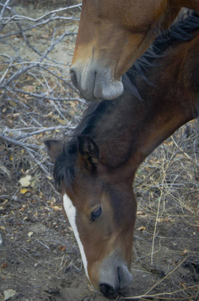 Photograph - Wild Horses Of Nevada 5 by Catherine Sobredo