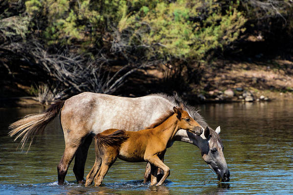 Wild Horses On The Salt River Art Print