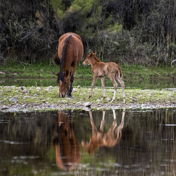 Photograph - Wild Horses Reflected In The Salt River by Dave Dilli