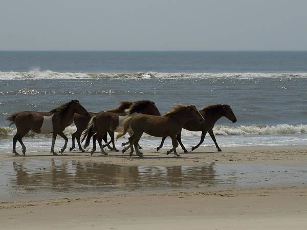 Assateague Island Photograph - Wild  Horses Run On The Beach by Stacy Gold