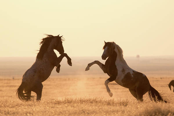 Photograph - Wild Horses by Wesley Aston