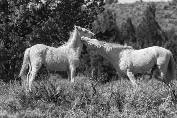Photograph - Wild Horses With Playful Spirits No 7 Bw by Belinda Greb