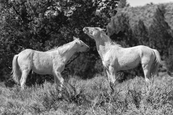 Photograph - Wild Horses With Playful Spirits No 8 Bw by Belinda Greb