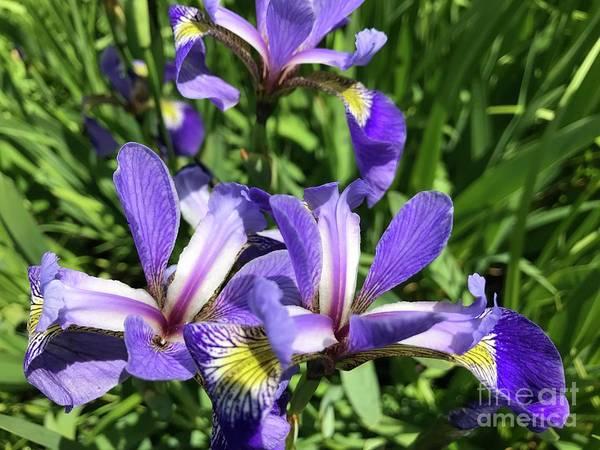 Photograph - Wild Iris Surprise  by Susan Carella