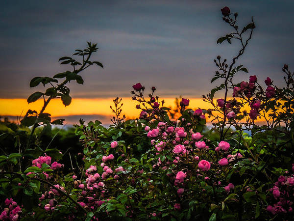 Photograph - Wild Irish Roses At Sunrise In The County Clare Countryside by James Truett