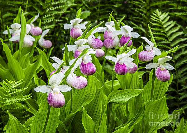 Swamp Photograph - Wild Lady Slipper Flowers by Edward Fielding