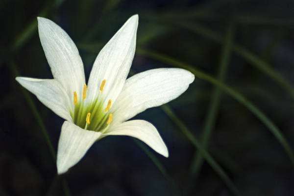 Photograph - Wild Lily by Carolyn Marshall