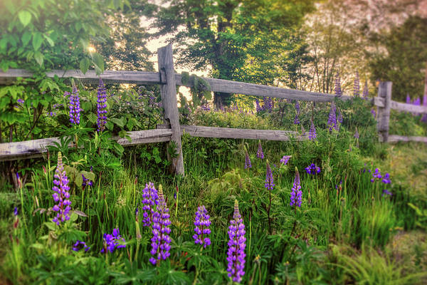 Photograph - Wild Lupines On Country Road by Joann Vitali