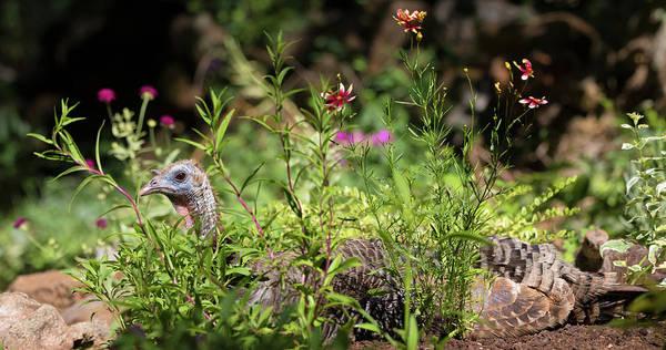 Meleagris Gallopavo Photograph - Wild Mama Turkey In The Garden by Kathleen Bishop