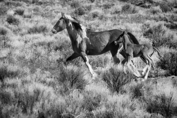 Photograph - Wild Mare And Foal Running Bw by Belinda Greb