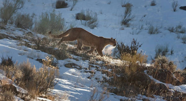 Wild Mountain Lion Running At First Light Art Print