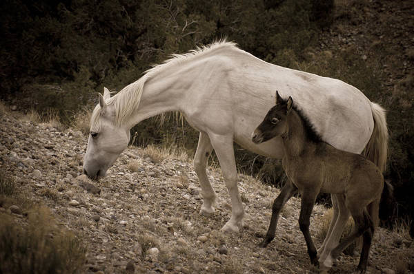 Photograph - Wild Mustangs Of New Mexico 22 by Catherine Sobredo