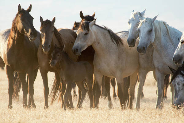 Photograph - Wild Mustangs by Wesley Aston