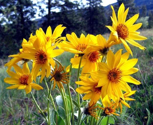 Wall Art - Photograph - Wild Okanagan Sunflowers by Will Borden
