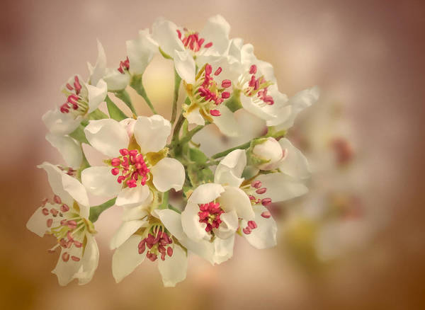 Photograph - Wild Pear Blossom by Valerie Anne Kelly