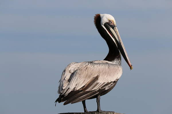 Photograph - Wild Pelican - 2  by Christy Pooschke