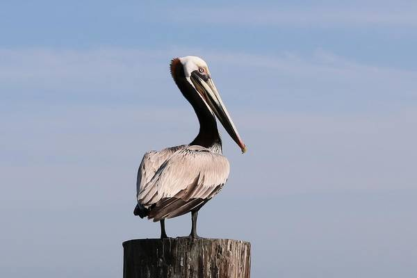 Photograph - Wild Pelican by Christy Pooschke