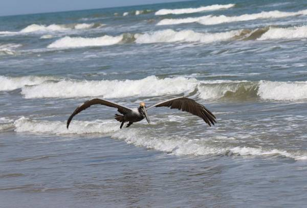 Photograph - Wild Pelican In Flight  by Christy Pooschke