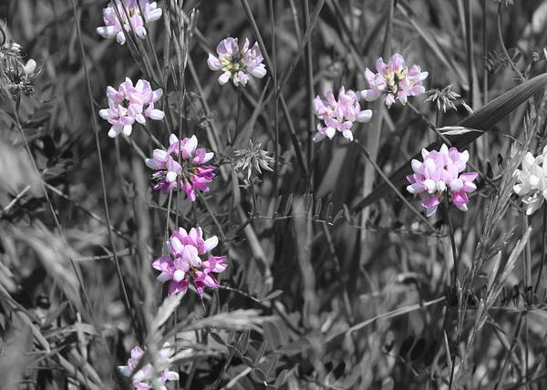 Photograph - Wild Periwinkle Colored Crown Vetch by Colleen Cornelius