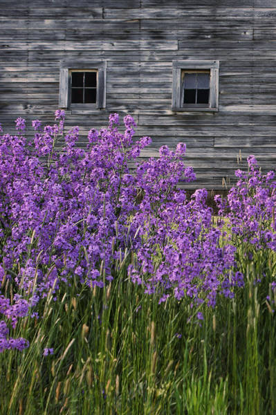 Juxtaposition Photograph - Wild Phlox - Windows - Old Barn by Nikolyn McDonald