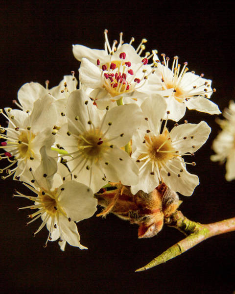 Photograph - Wild Plum Blooms At Sunset 5529.02 by M K Miller