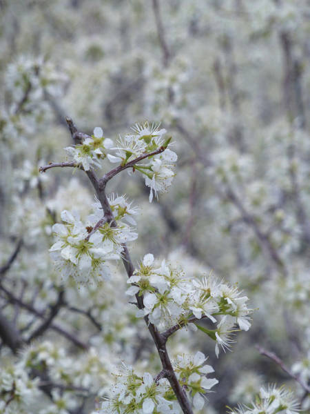 Photograph - Wild Plum Thicket by Cris Fulton
