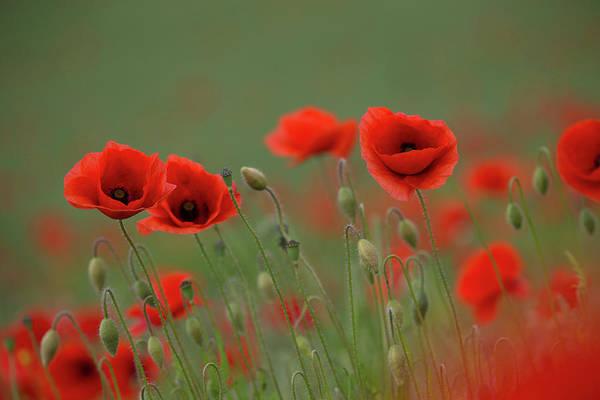 Photograph - Wild Poppies by Peter Walkden