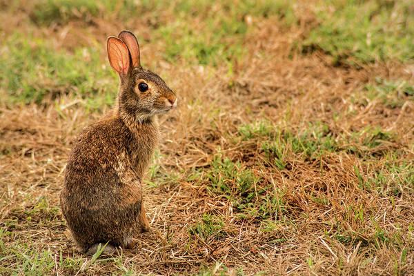 Photograph - Wild Rabbit by Don Johnson