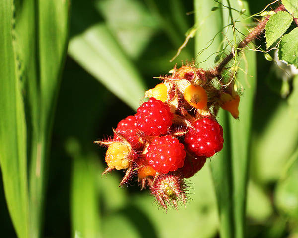 Photograph - Wild Raspberries by William Selander