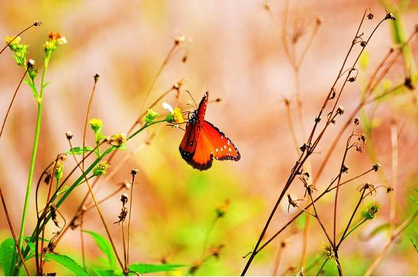 Flutterby Wall Art - Photograph - Wild Red Flutterby by Randy Aveille