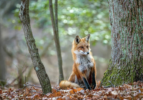 Photograph - Wild Red Fox Looking Around A Tree In The Forest In Autumn by Patrick Wolf
