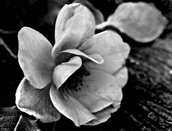 Photograph - Wild Rose And Salvaged Barn Wood by Curtis J Neeley Jr