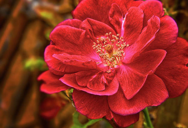 Photograph - Wild Rose by Charles Muhle