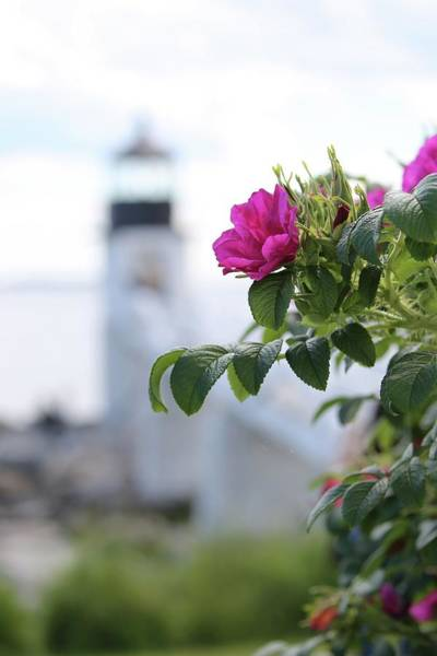 Photograph - Wild Roses At Marshall Point by John Meader